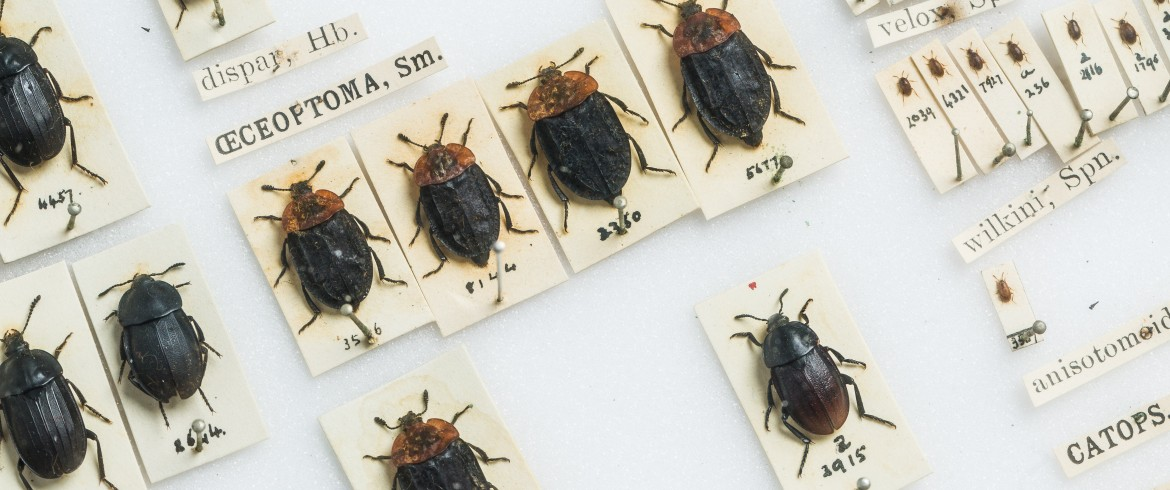 Beetles, Bannister Collection